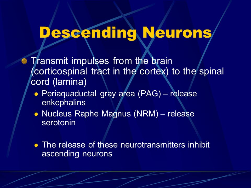 Descending Neurons Transmit impulses from the brain (corticospinal tract in the cortex) to the spinal cord (lamina)