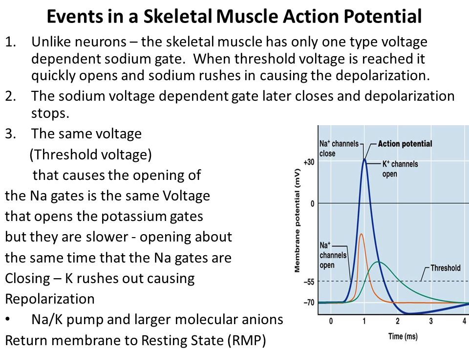 Events in a Skeletal Muscle Action Potential