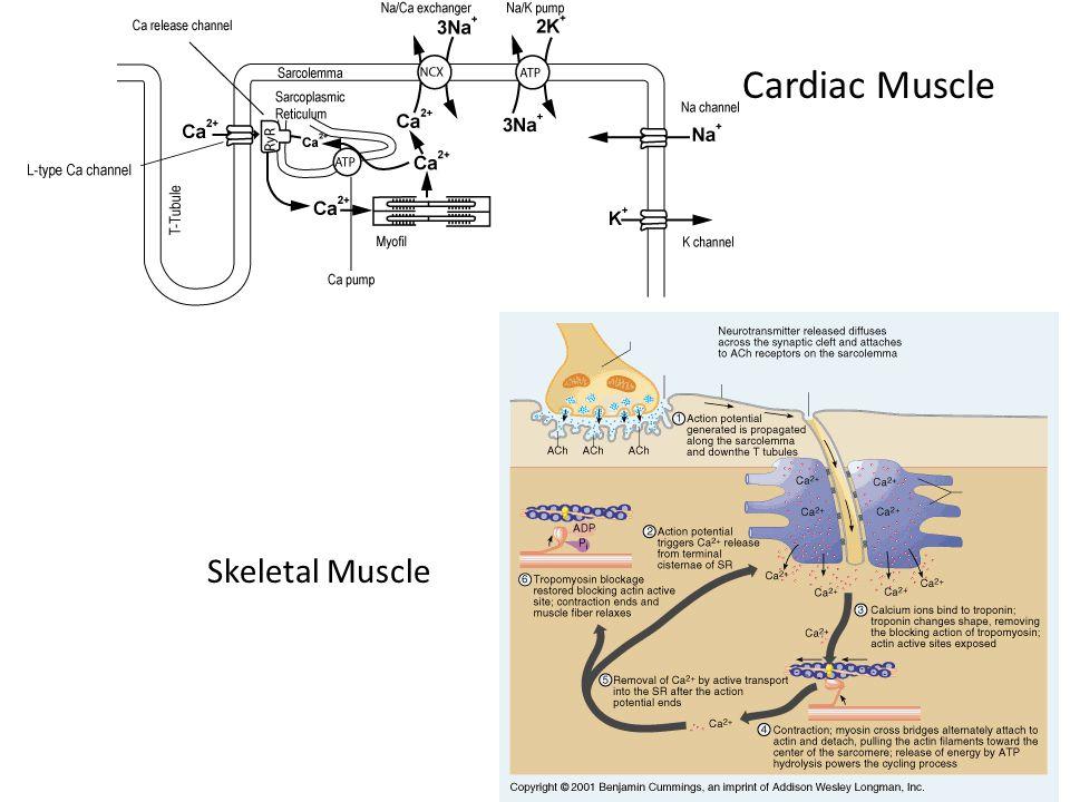 Cardiac Muscle Skeletal Muscle