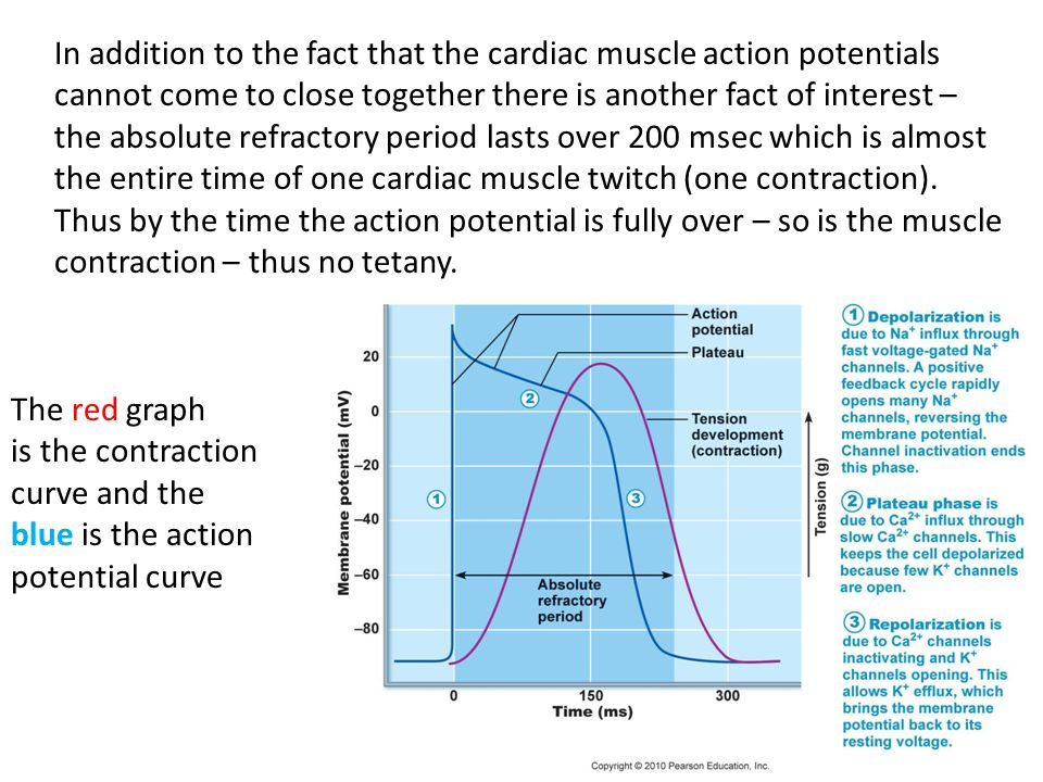 In addition to the fact that the cardiac muscle action potentials cannot come to close together there is another fact of interest – the absolute refractory period lasts over 200 msec which is almost the entire time of one cardiac muscle twitch (one contraction). Thus by the time the action potential is fully over – so is the muscle contraction – thus no tetany.