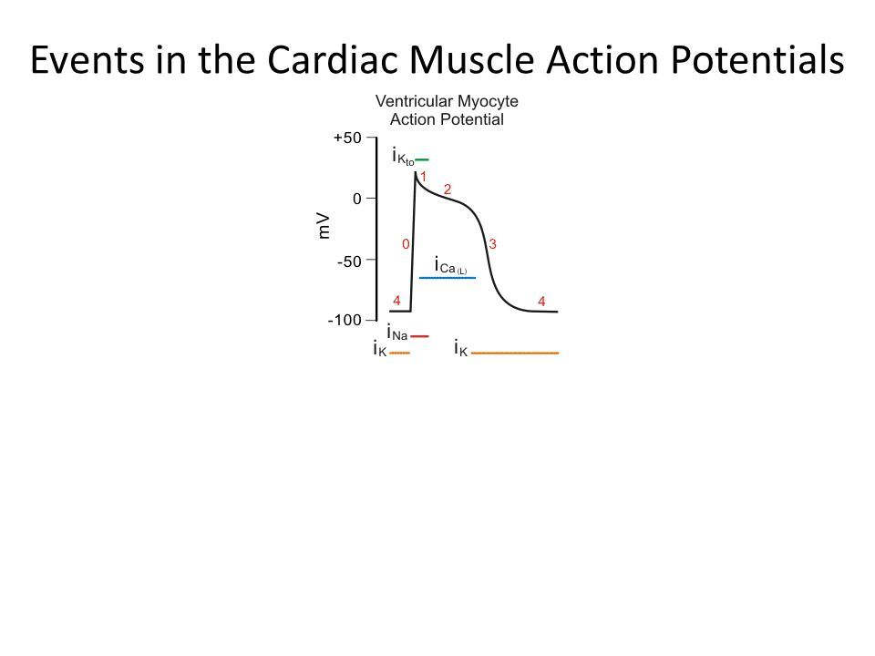 Events in the Cardiac Muscle Action Potentials