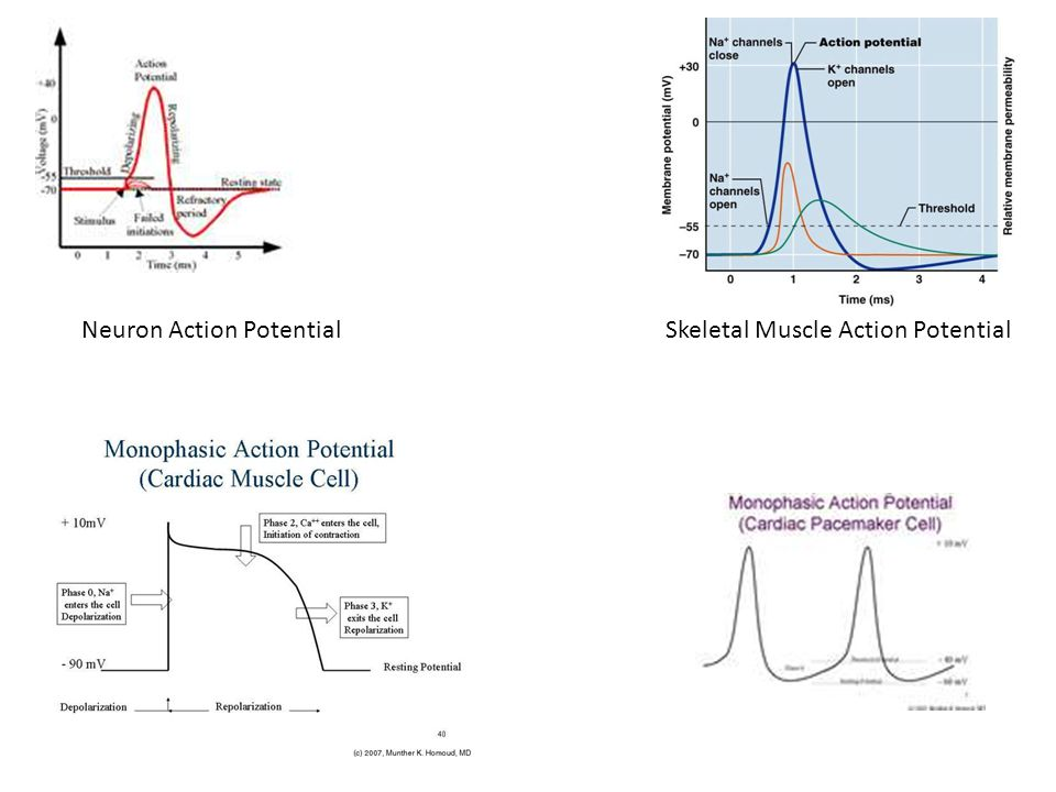 Neuron Action Potential Skeletal Muscle Action Potential