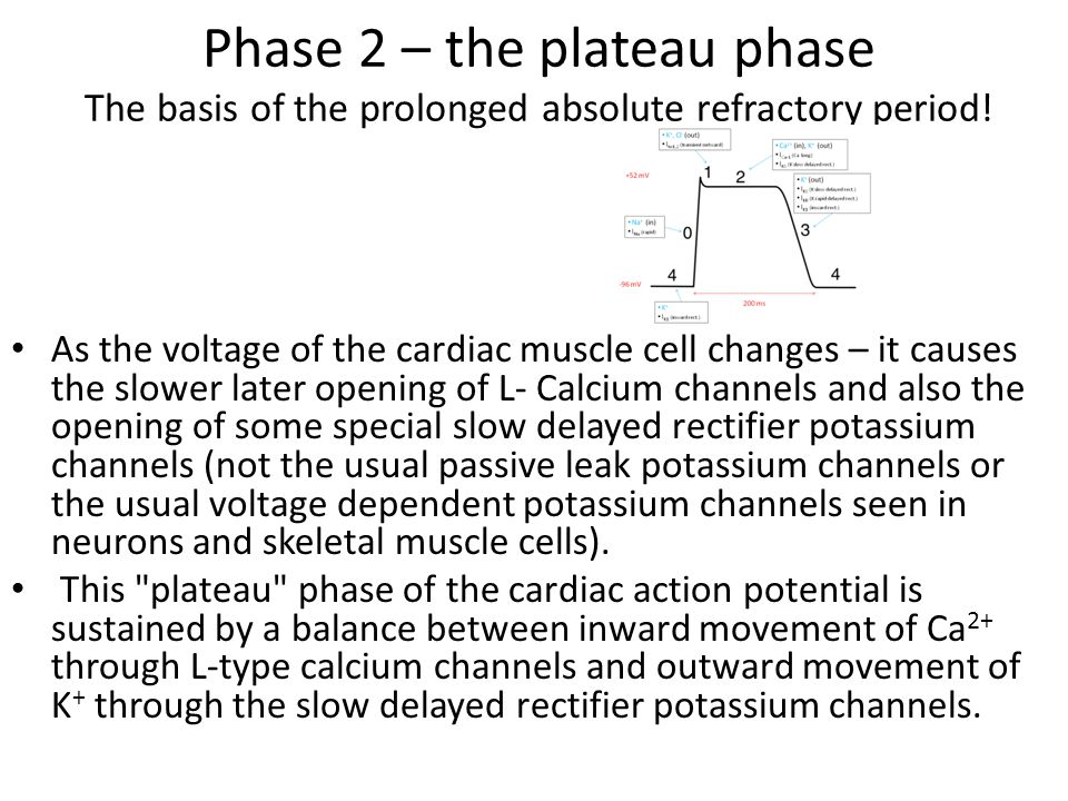 Phase 2 – the plateau phase The basis of the prolonged absolute refractory period!