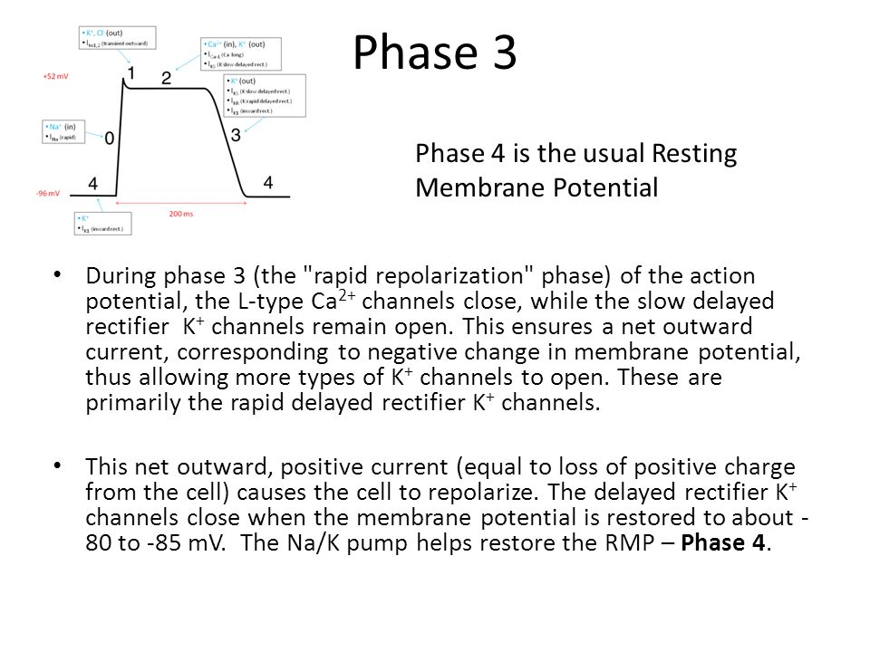 Phase 3 Phase 4 is the usual Resting Membrane Potential