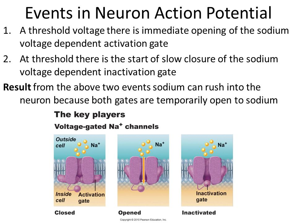 Events in Neuron Action Potential