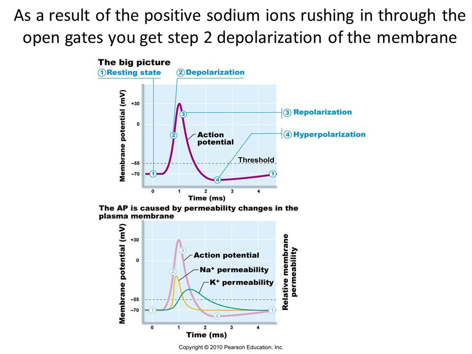 As a result of the positive sodium ions rushing in through the open gates you get step 2 depolarization of the membrane