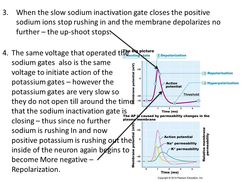 When the slow sodium inactivation gate closes the positive sodium ions stop rushing in and the membrane depolarizes no further – the up-shoot stops.