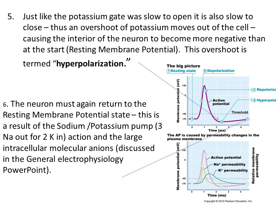 Just like the potassium gate was slow to open it is also slow to close – thus an overshoot of potassium moves out of the cell – causing the interior of the neuron to become more negative than at the start (Resting Membrane Potential). This overshoot is termed hyperpolarization.