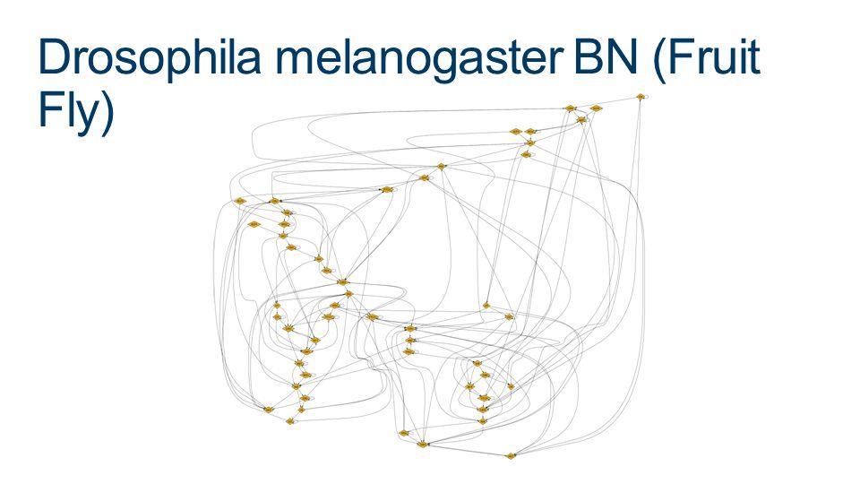 Drosophila melanogaster BN (Fruit Fly)