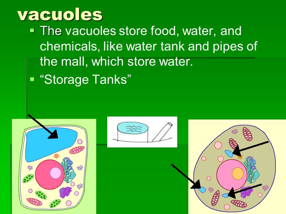 vacuoles The vacuoles store food, water, and chemicals, like water tank and pipes of the mall, which store water.