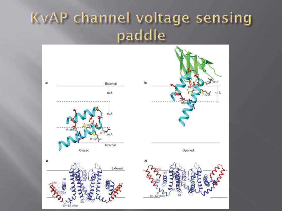 KvAP channel voltage sensing paddle
