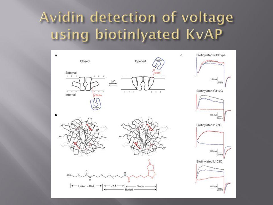 Avidin detection of voltage using biotinlyated KvAP