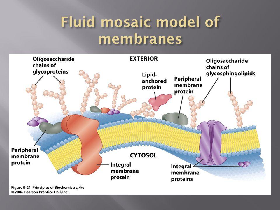 Fluid mosaic model of membranes