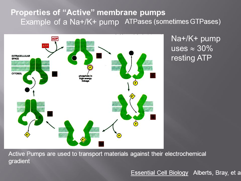 Properties of Active membrane pumps Example of a Na+/K+ pump
