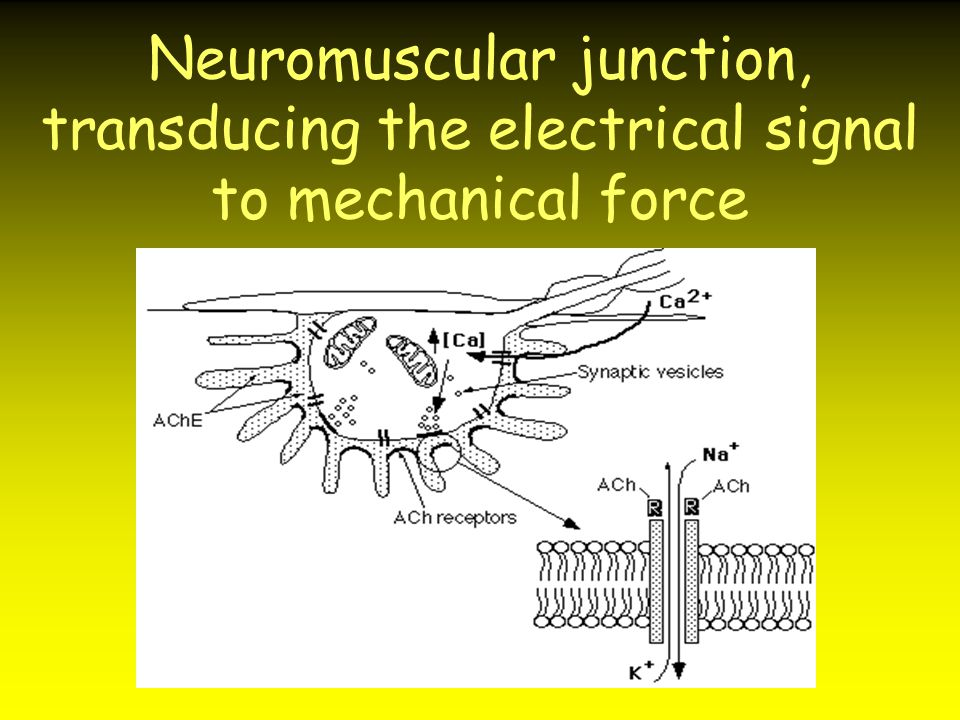 Neuromuscular junction, transducing the electrical signal to mechanical force