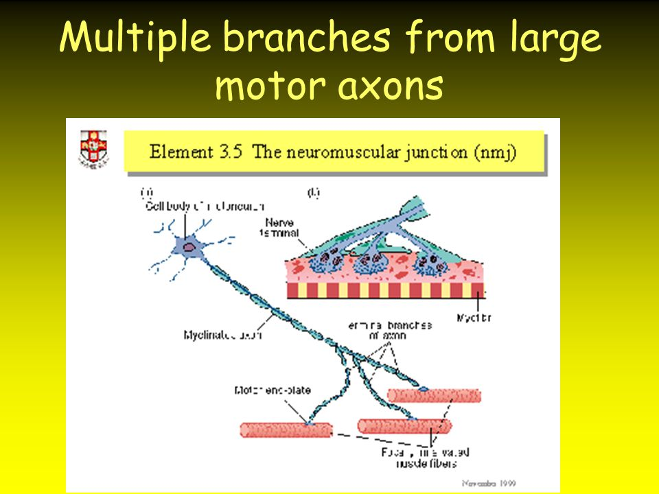 Multiple branches from large motor axons