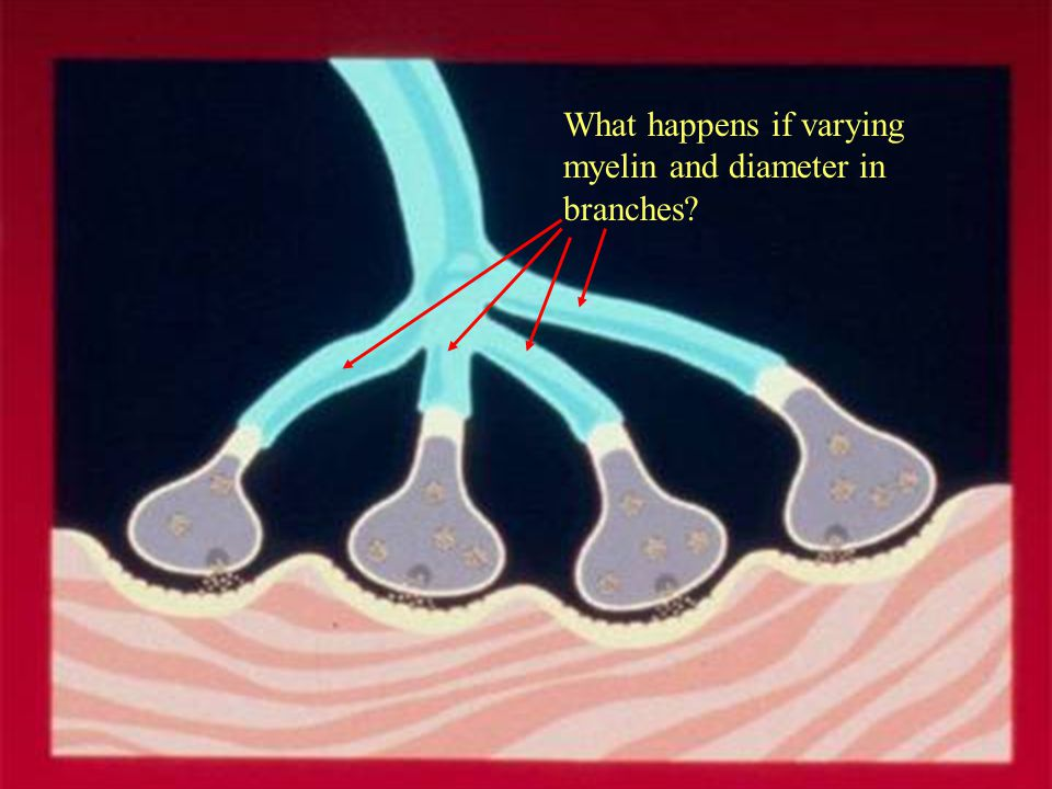 What happens if varying myelin and diameter in branches