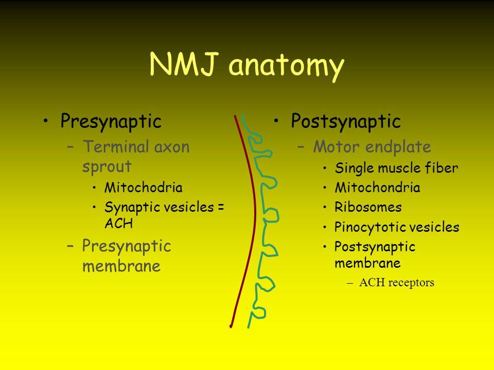 NMJ anatomy Presynaptic Postsynaptic Terminal axon sprout