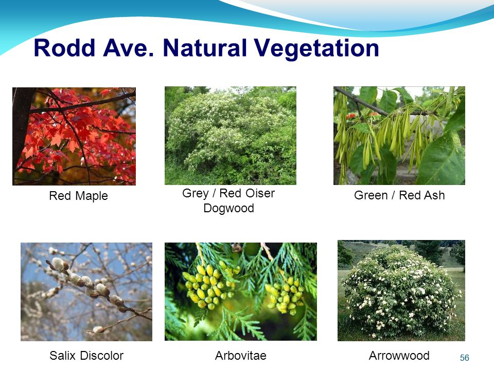Rodd Ave. Natural Vegetation