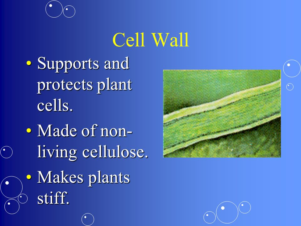 Cell Wall Supports and protects plant cells.