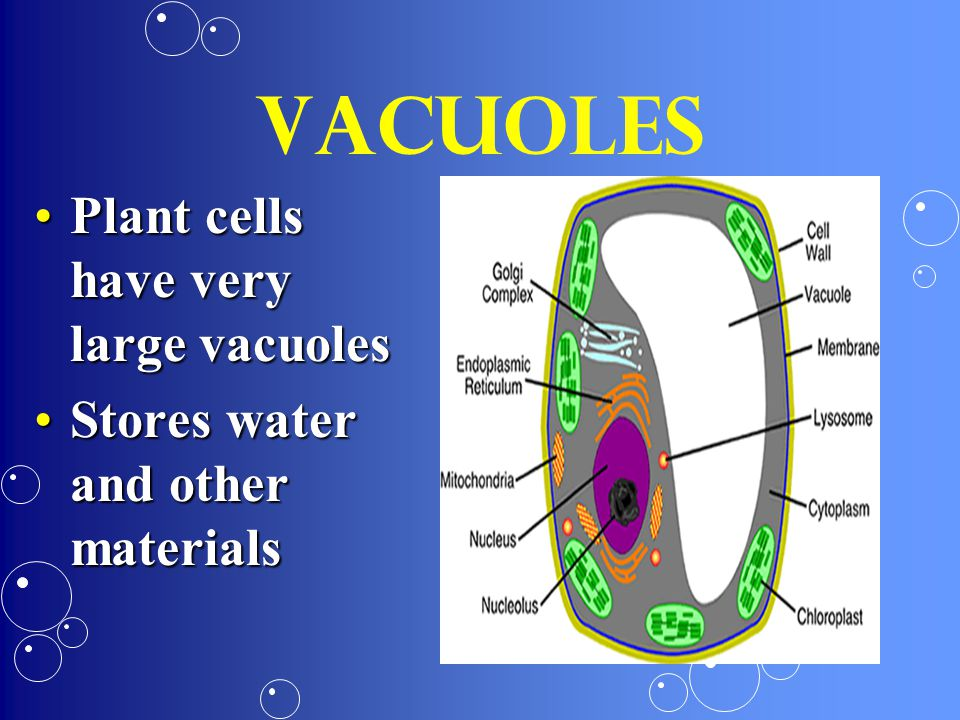 Vacuoles Plant cells have very large vacuoles