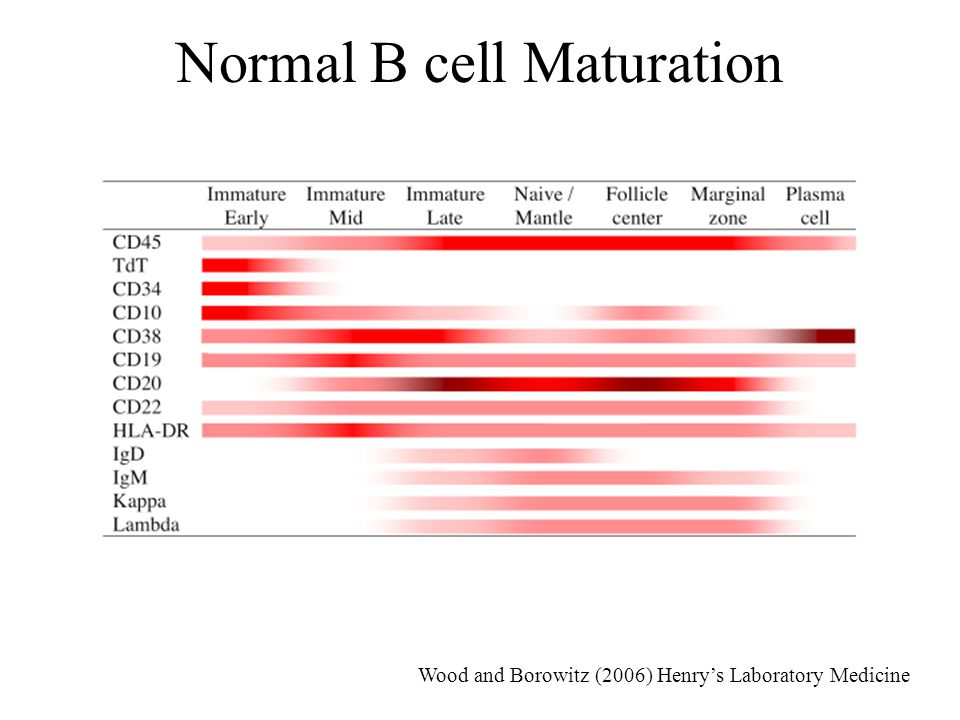 Normal B cell Maturation