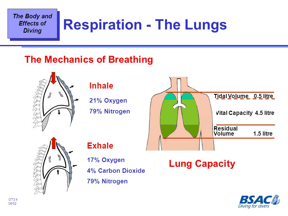 Respiration - The Lungs