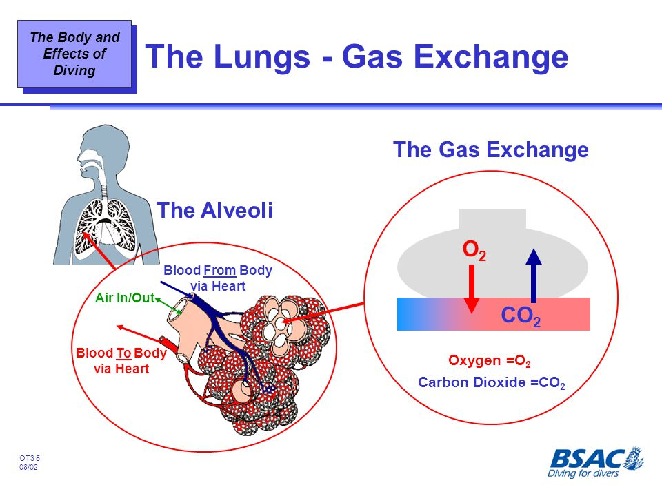 The Lungs - Gas Exchange