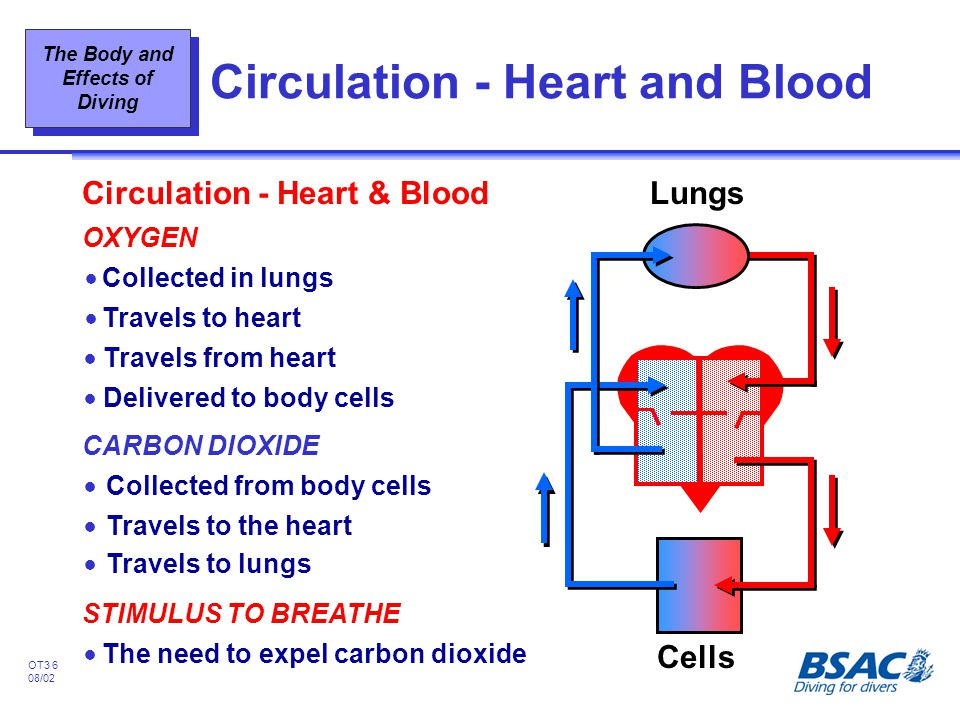Circulation - Heart and Blood