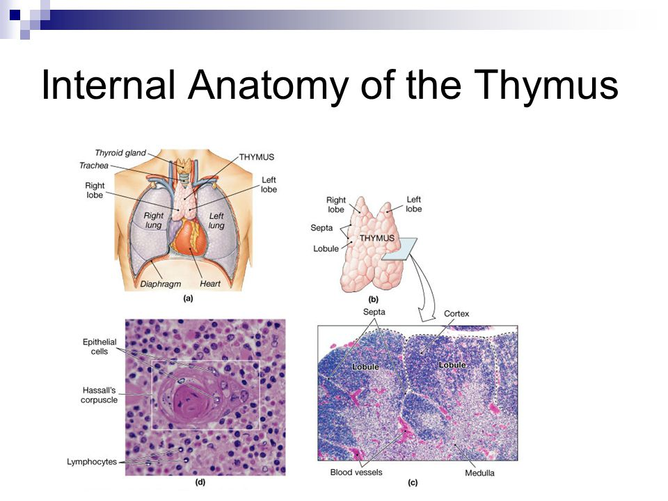 Internal Anatomy of the Thymus