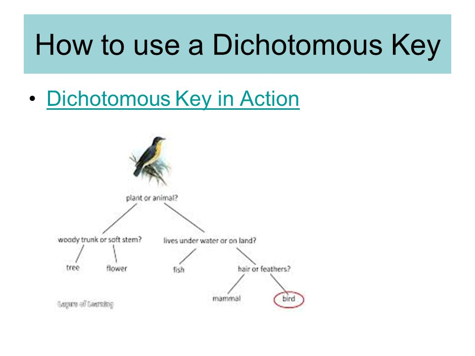 How to use a Dichotomous Key