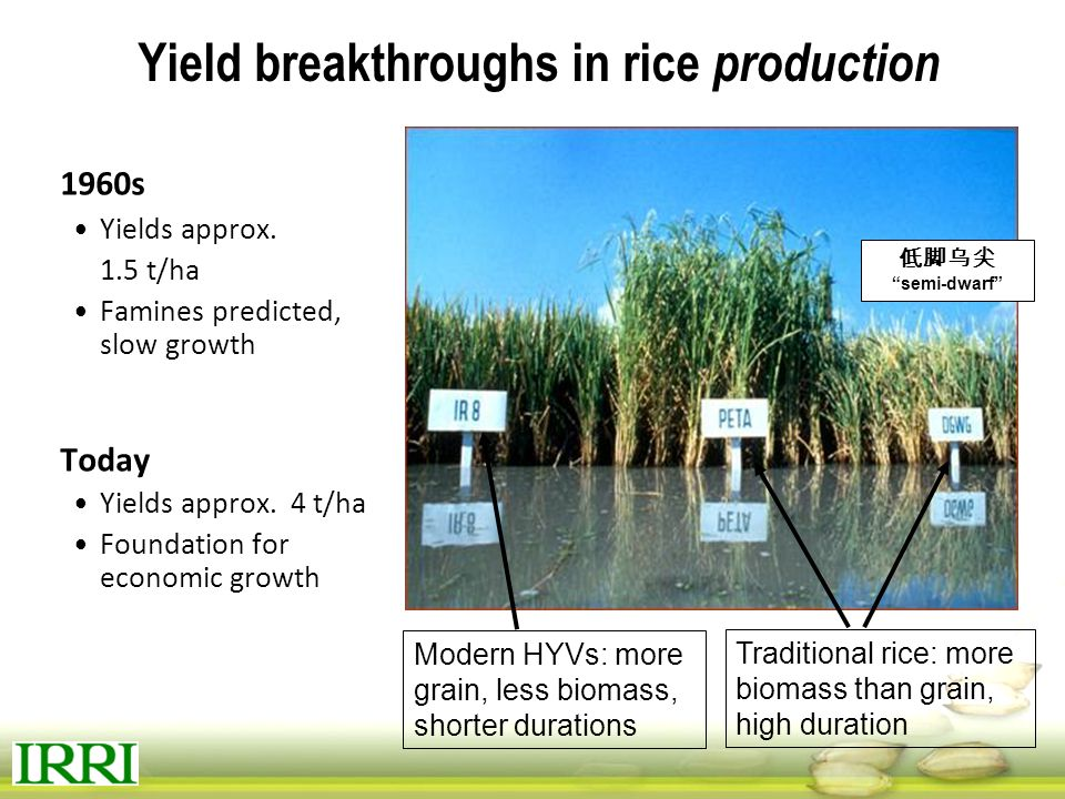 Yield breakthroughs in rice production
