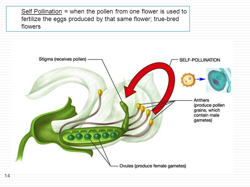 Self Pollination = when the pollen from one flower is used to fertilize the eggs produced by that same flower; true-bred flowers