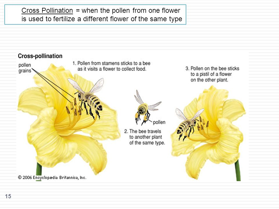 Cross Pollination = when the pollen from one flower is used to fertilize a different flower of the same type
