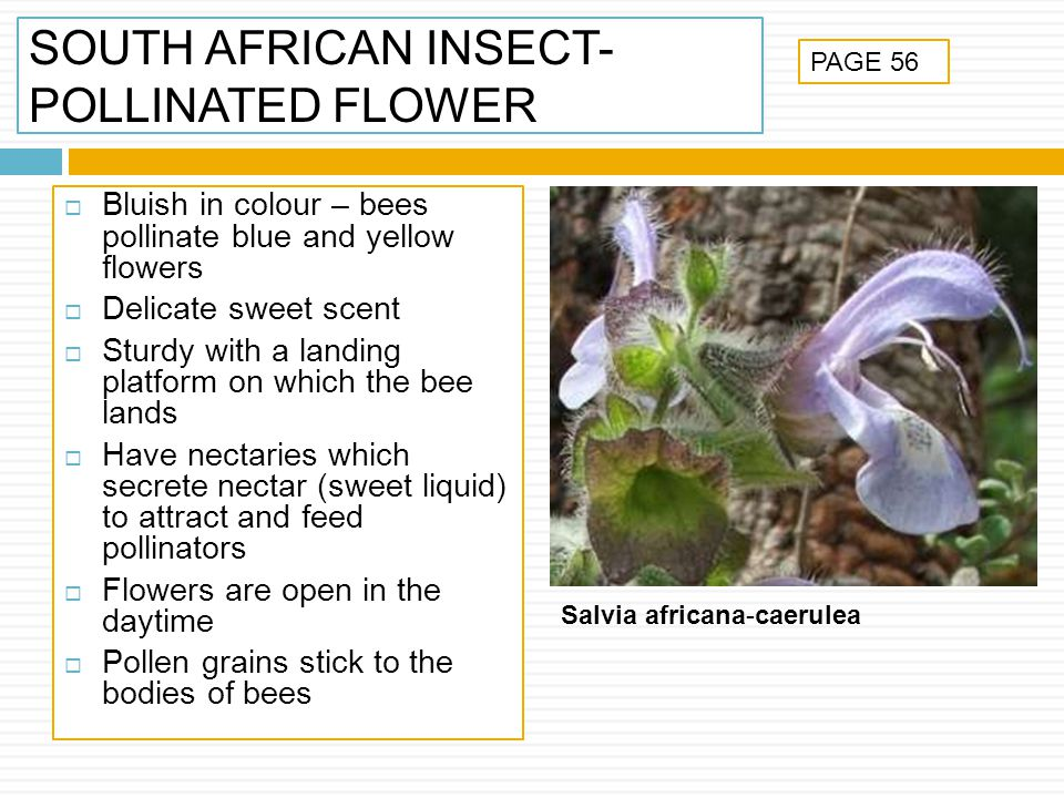 SOUTH AFRICAN INSECT-POLLINATED FLOWER