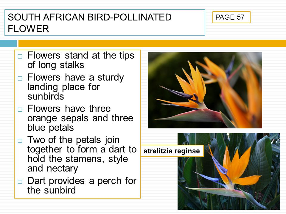 SOUTH AFRICAN BIRD-POLLINATED FLOWER