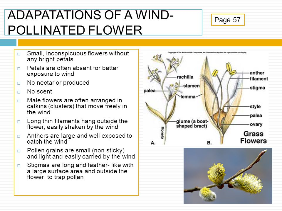 ADAPATATIONS OF A WIND-POLLINATED FLOWER