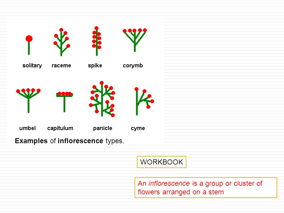 Examples of inflorescence types.