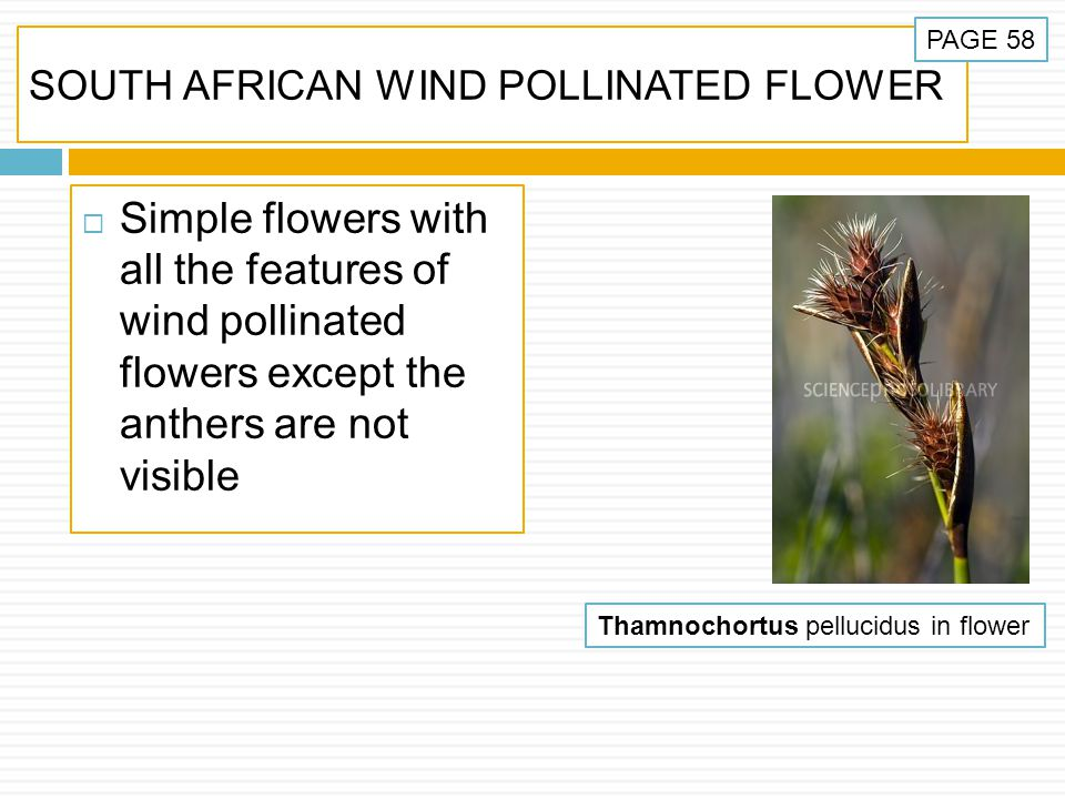 SOUTH AFRICAN WIND POLLINATED FLOWER