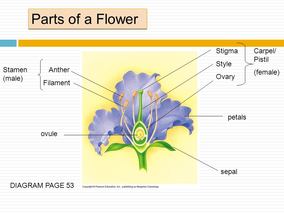 Parts of a Flower Stigma Style Ovary Carpel/Pistil (female)