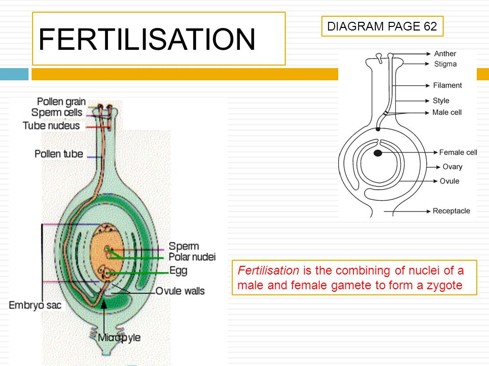 FERTILISATION DIAGRAM PAGE 62