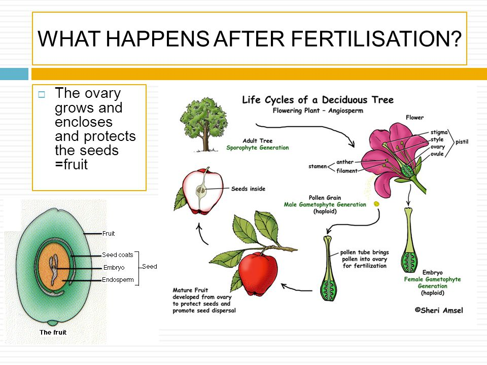 WHAT HAPPENS AFTER FERTILISATION