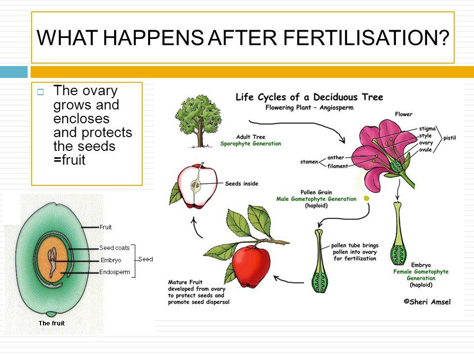 WHAT HAPPENS AFTER FERTILISATION