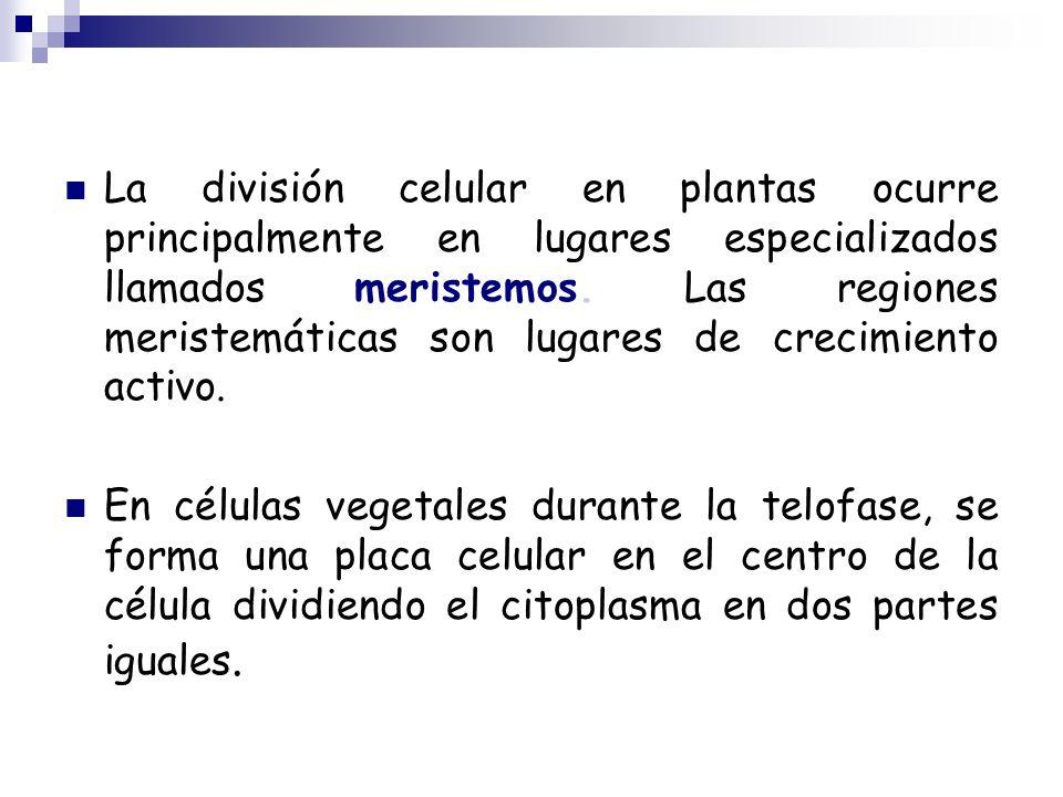 La división celular en plantas ocurre principalmente en lugares especializados llamados meristemos. Las regiones meristemáticas son lugares de crecimiento activo.