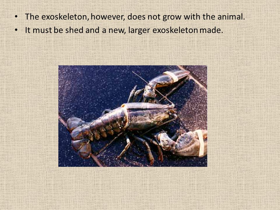 The exoskeleton, however, does not grow with the animal.