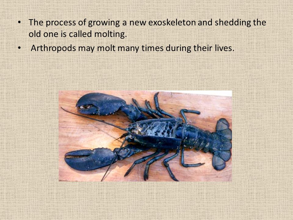 The process of growing a new exoskeleton and shedding the old one is called molting.
