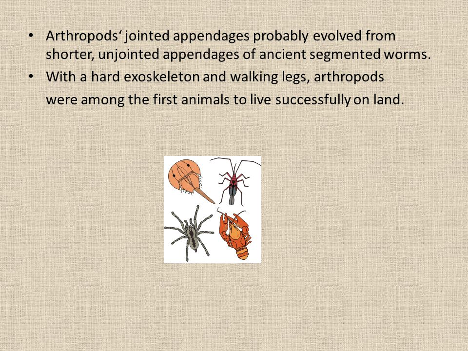 Arthropods' jointed appendages probably evolved from shorter, unjointed appendages of ancient segmented worms.