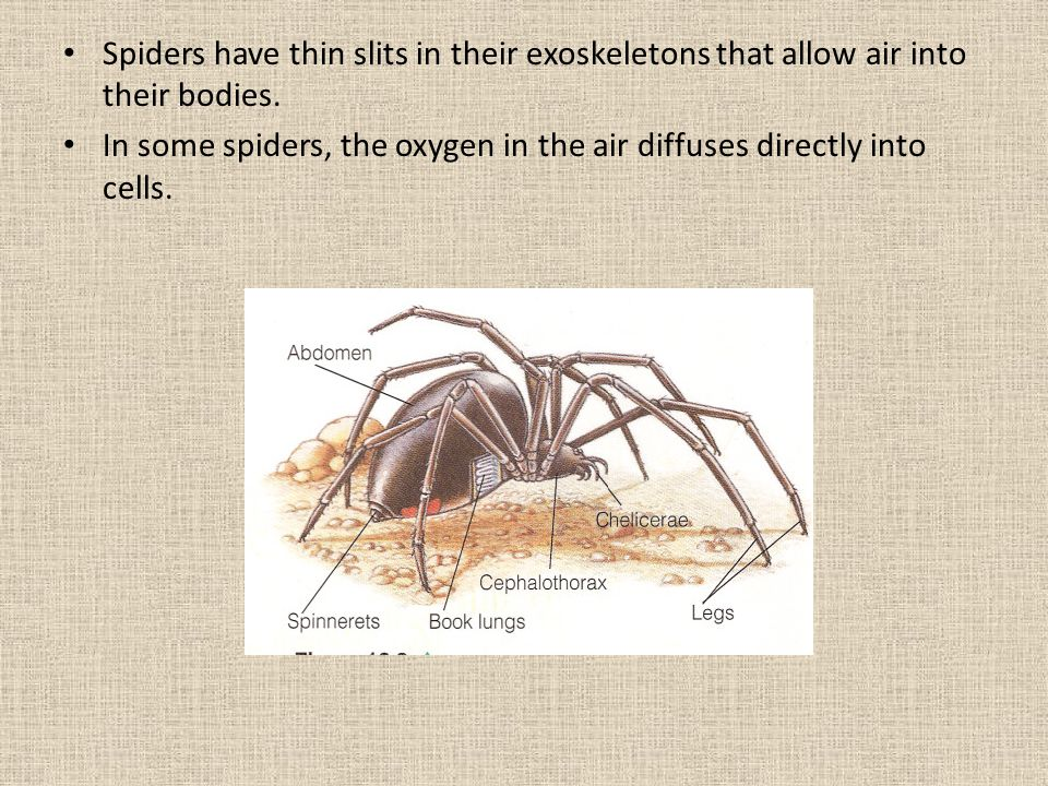 Spiders have thin slits in their exoskeletons that allow air into their bodies.