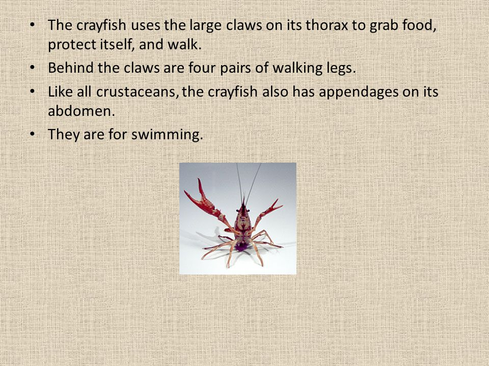 The crayfish uses the large claws on its thorax to grab food, protect itself, and walk.