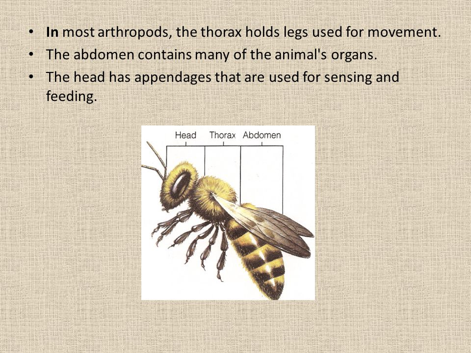 In most arthropods, the thorax holds legs used for movement.